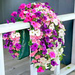 Bag O'Blooms® Sun Loving Petunia Saddle Bag