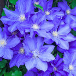 Gypsy Queen Clematis Mix