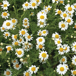Flower Mat Ground Cover, Roman Chamomile