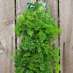 Organic Hanging Parsley Garden Kit