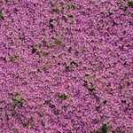 Flower Mat Ground Cover, Creeping Thyme