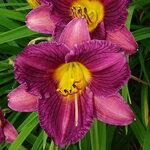 Purple De Oro Day Lily