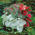 Caladium Rainbow Mix