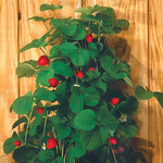 Bag O'Blooms® Strawberries