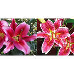 Pretty in Pink Lily Mix