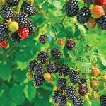 Blackberry Cheyenne