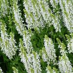 Salvia Snow Hill